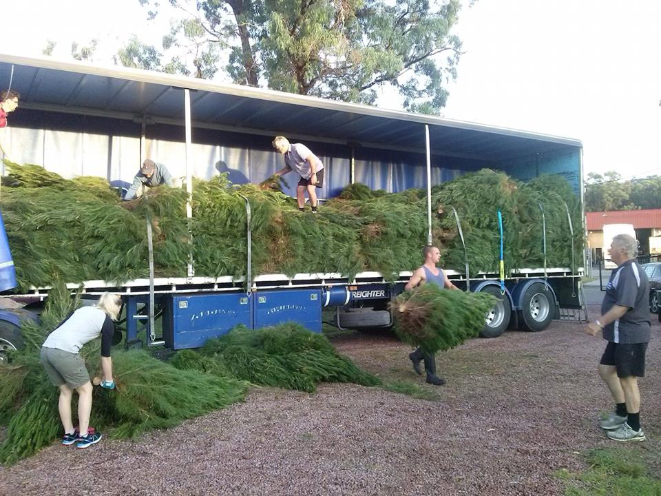 Christmas Trees, Terrigal Rotary Park - Rotary Club of Erina